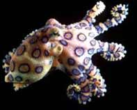 Blue-Ringed-Octopus-2