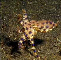 Blue-Ringed-Octopus-3
