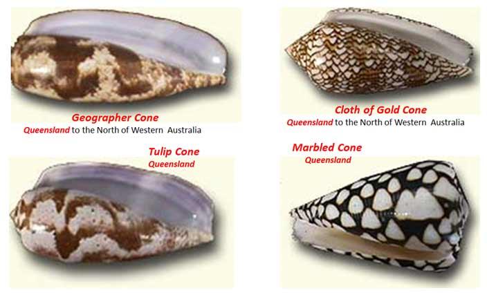 Cone-Shells-1